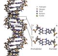 DNA yapısı.png