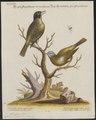 Dacnis spiza - 1700-1880 - Print - Iconographia Zoologica - Special Collections University of Amsterdam - UBA01 IZ19000393.tif