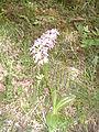 Dactylorhiza sambucina 2.jpg