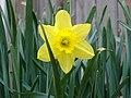 Daffodil-flower.jpg