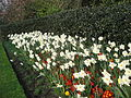 Daffodils at Regent's Park in March 2012 9.JPG