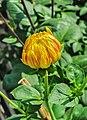 Dahlia 'Harlequin' flowerbud 09012015.jpg