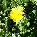 Dandelions in January! (8360883895).jpg