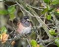Dark-eyed Junco (Oregon) (39286852944).jpg