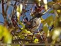 Dark-throated Thrush (Turdus ruficollis) (15707763970).jpg