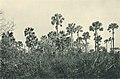 Das südliche Togo (Busse) - Tafel 12 - Borassus-Hain.jpg