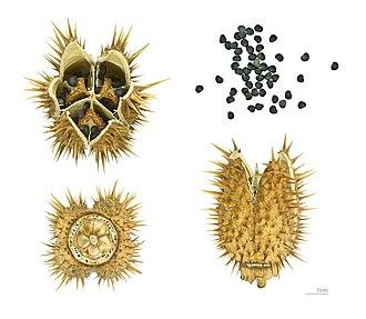 Datura stramonium - Fruits and seeds – MHNT