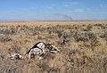 Dead cow on Snake River Plain, Idaho.jpg