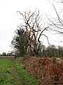 Dead tree on field boundary - geograph.org.uk - 1117191.jpg
