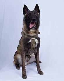 Declassified image of Conan, the dog who chased al-Baghdadi.jpg