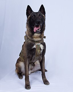 Declassified image of Conan, the dog who chased al-Baghdadi
