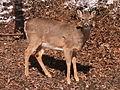 Deer, Mount Lebanon, 2015-02-20, 03.jpg