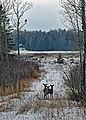 Deer on Drummond Island - 49370675467.jpg
