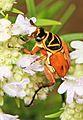 Delta Flower Scarab Beetle - Trigonopeltastes delta, Colchester Park, Mason Neck, Virginia.jpg