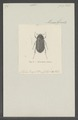 Demodema - Print - Iconographia Zoologica - Special Collections University of Amsterdam - UBAINV0274 020 05 0013.tif