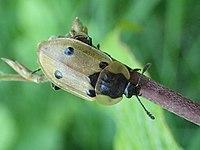 Dendroxena quadrimaculata (Matthieu Gauvain).jpg