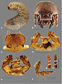 Description-of-adult-and-third-instar-larva-of-Trichostetha-curlei-sp.-n.-(Coleoptera-Scarabaeidae-zookeys-428-041-g005.jpg