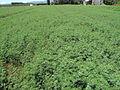 Desmanthus virgatus hay crop Mareeba Queensland 3638.jpg