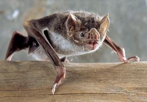 Gestation Chauve Souris desmodus rotundus — wikipédia