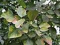 Dhak (Butea monosperma) leaves in Kolkata W IMG 4265.jpg