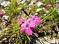 Dianthus carthusianorum 2.jpg