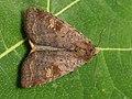 Diarsia dahlii - Barred chestnut - Подорожниковая совка жёлто-бурая (40187142145).jpg
