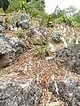 Dierama luteoalbidum - University of California Botanical Garden - DSC08884.JPG