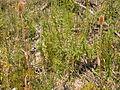 Dipsacus fullonum (5006631740).jpg