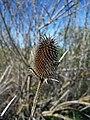 Dipsacus sativus-2.jpg