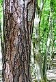 Diversifikation Baumarten - Naturschutzgebiet Wahner Heide, Porzer Weg - am Kurtenwaldbach; Deutschland, NRW.jpg