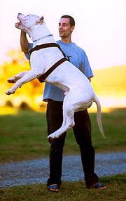 Argentine Dogo Jump