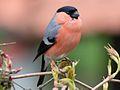 Dohmpfaff, bullfinch, Pyrrhula pyrrhula, bird.jpg