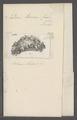 Doris lacera - - Print - Iconographia Zoologica - Special Collections University of Amsterdam - UBAINV0274 080 21 0018.tif