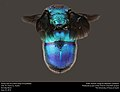 Dorsal view of cuckoo wasp (Chrysididae) (27643714230).jpg