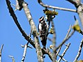 Downy Woodpecker, Government House, Victoria, BC.jpg