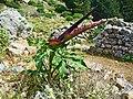 Dracunculus vulgaris 002.JPG