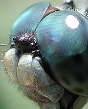 The compound eyes of a dragonfly.