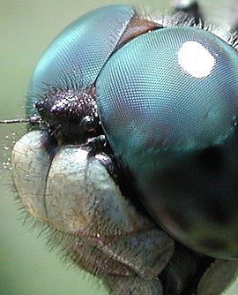Compound eye of a dragonfly