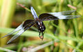 Dragonfly ran-920 Libellula luctosa m.jpg