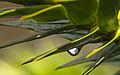 Drop on Spike (3497915730).jpg