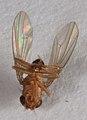 Drosophila funebris 3811.jpg