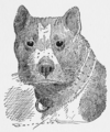 Duff the Bull Terrier.png