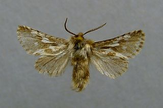 <i>Dyspessa</i> Genus of moths