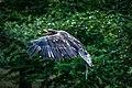 Eagle Approaching (231895445).jpeg
