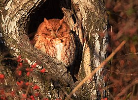 Eastern Screech Owl of Grafton (30948795483).jpg