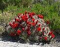 Echinocereus triglochidiatus 17.jpg