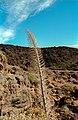 Echium wildpretii (winter) 02(js).jpg