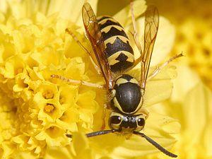Echte Wespen Wikipedia