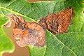Ectoedemia.albifasciella4.-.lindsey.jpg