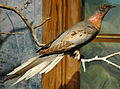 Ectopistes migratorius (passenger pigeon) 1 (15374997397).jpg